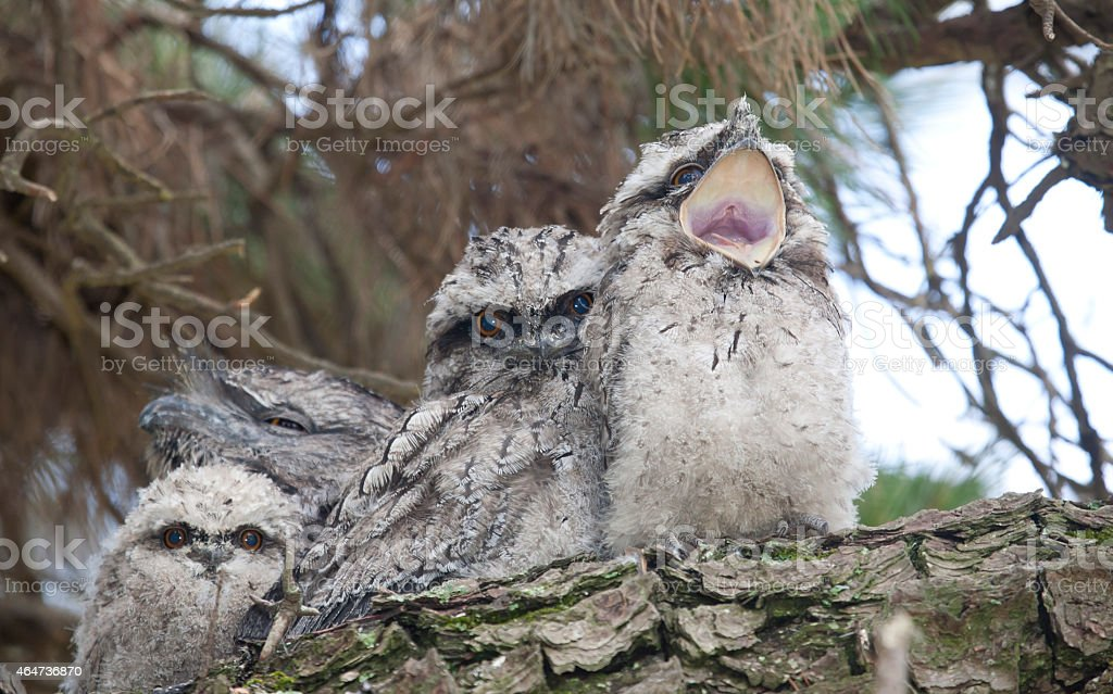 Tawny Frogmouth Family stock photo