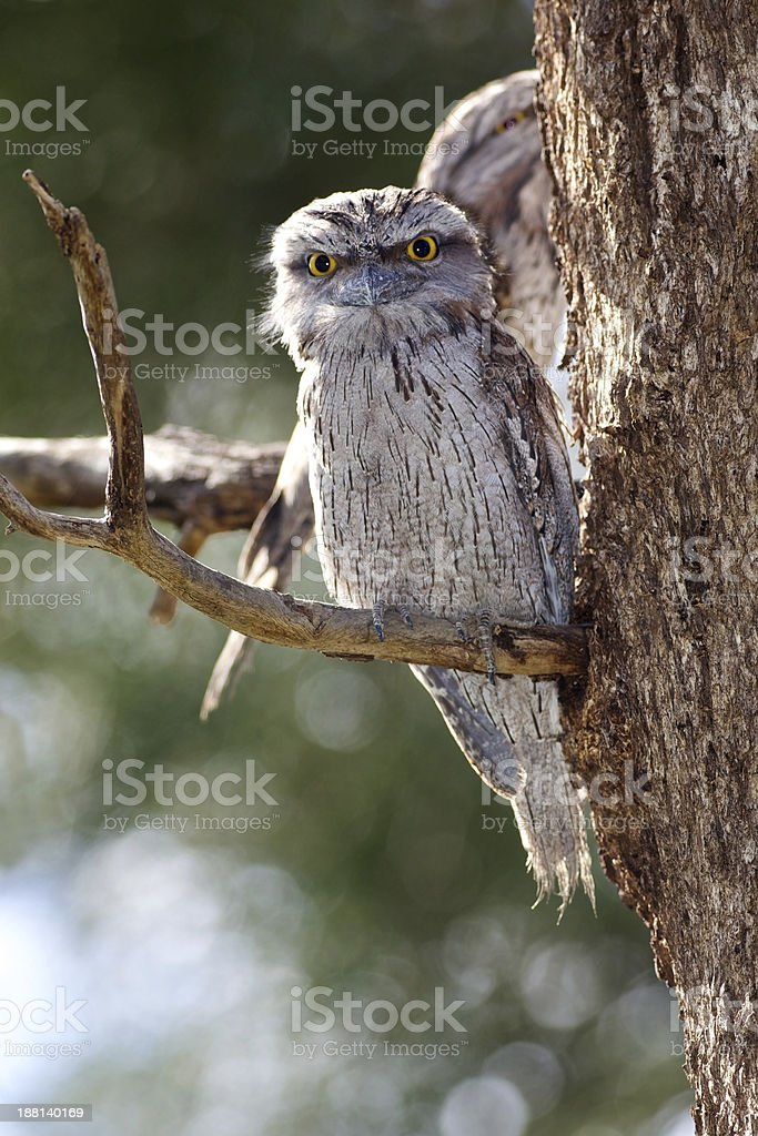 Tawny Frogmouth stock photo
