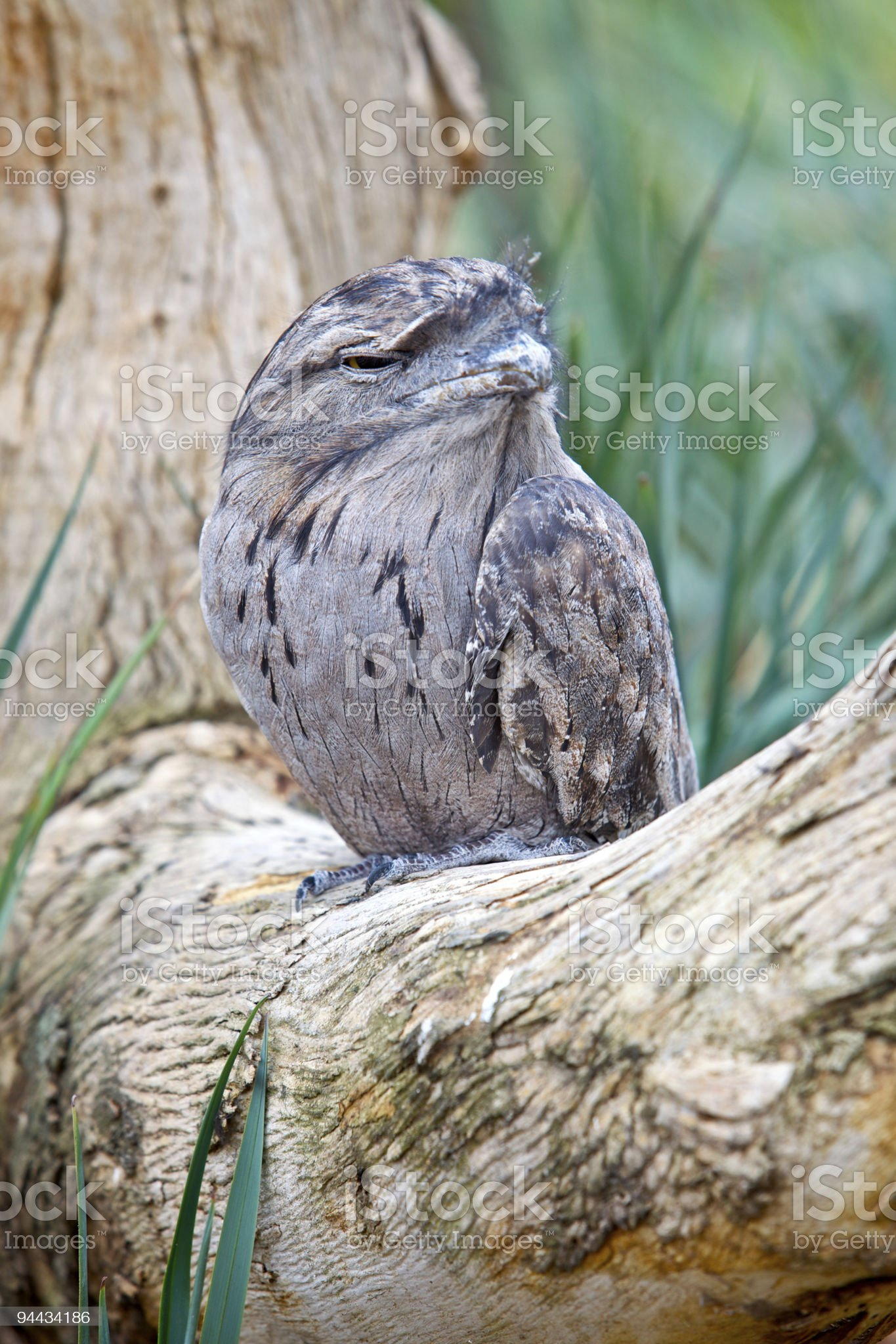 Tawny Frogmouth royalty-free stock photo