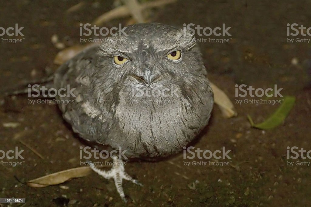 Tawny Frogmouth, Podargus strigoides stock photo