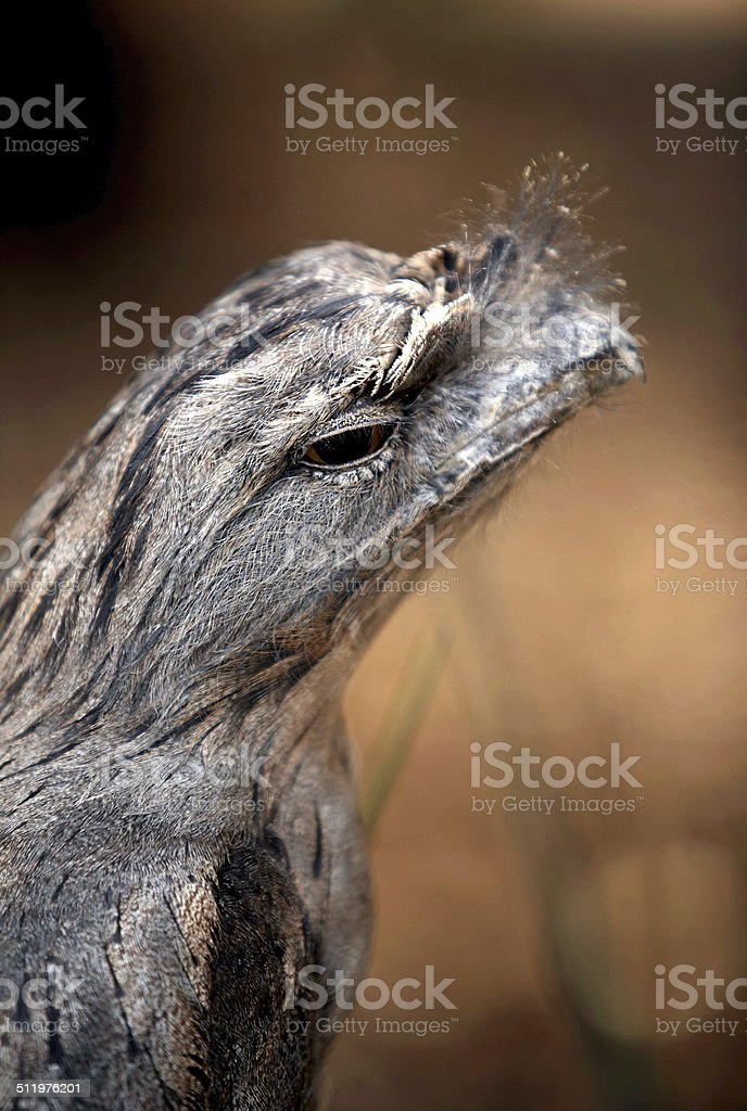 Tawny Frogmouth - Podargus Strigoides stock photo