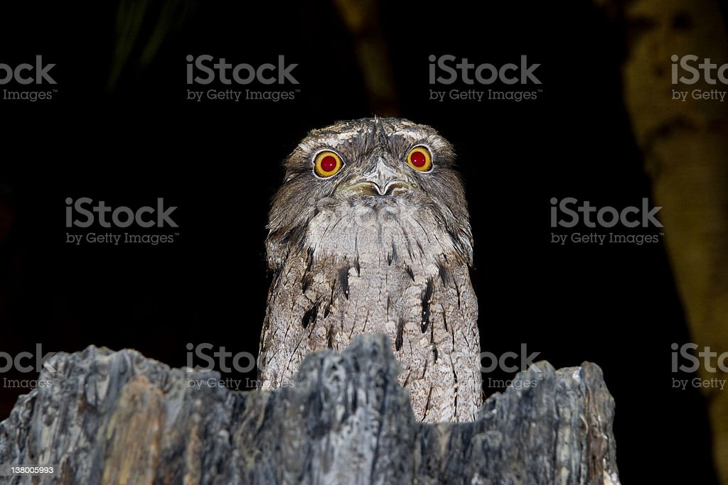 Tawny Frogmouth Red-eyed Stare stock photo
