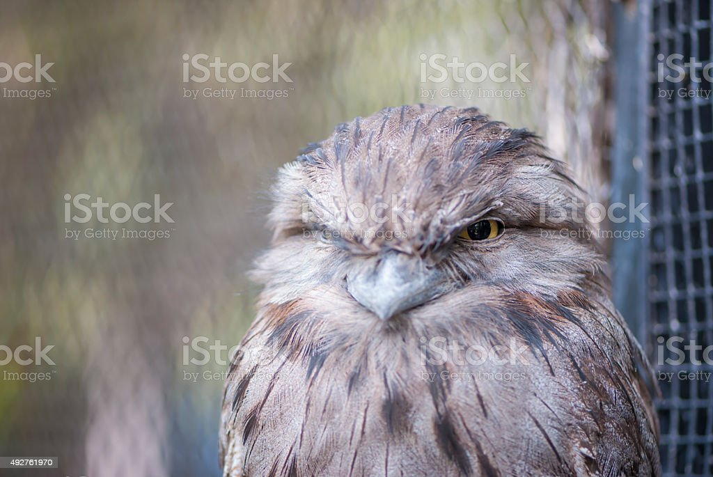 Tawny Frogmouth - Upper Body and Head stock photo