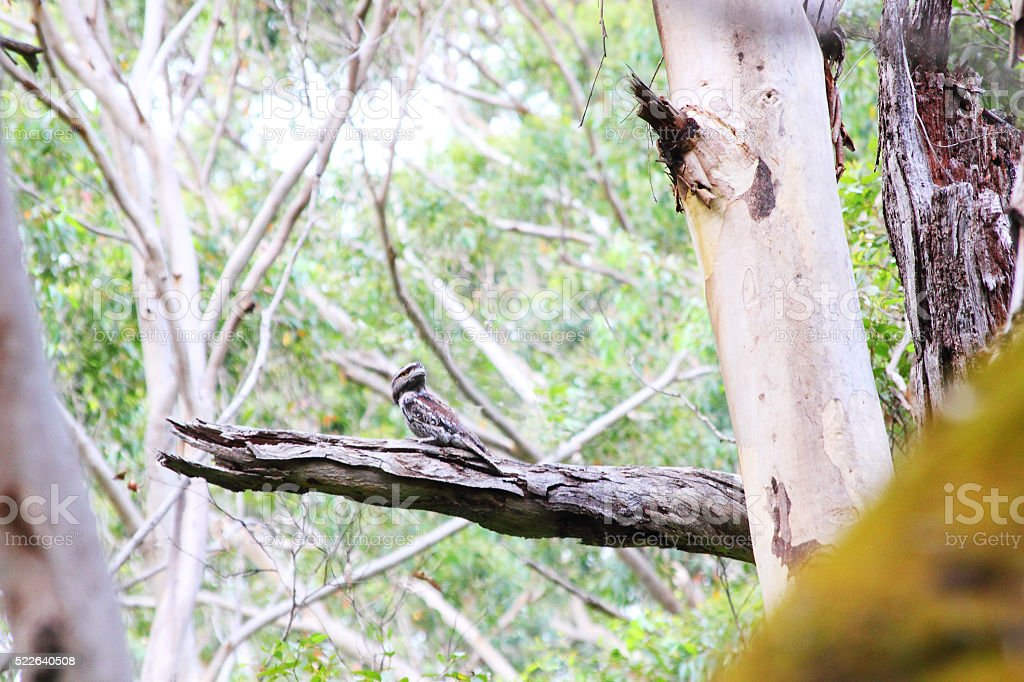 Tawny Frogmouth watching over its Territory, Boranup Forest, Australia stock photo