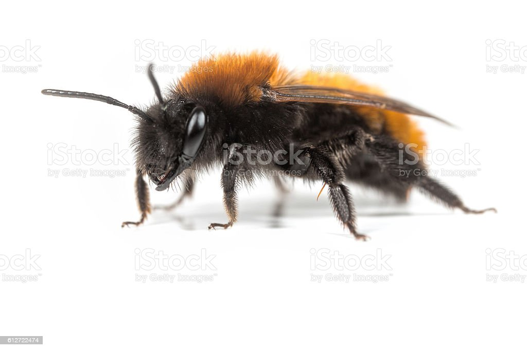 Tawny Mining Bee stock photo