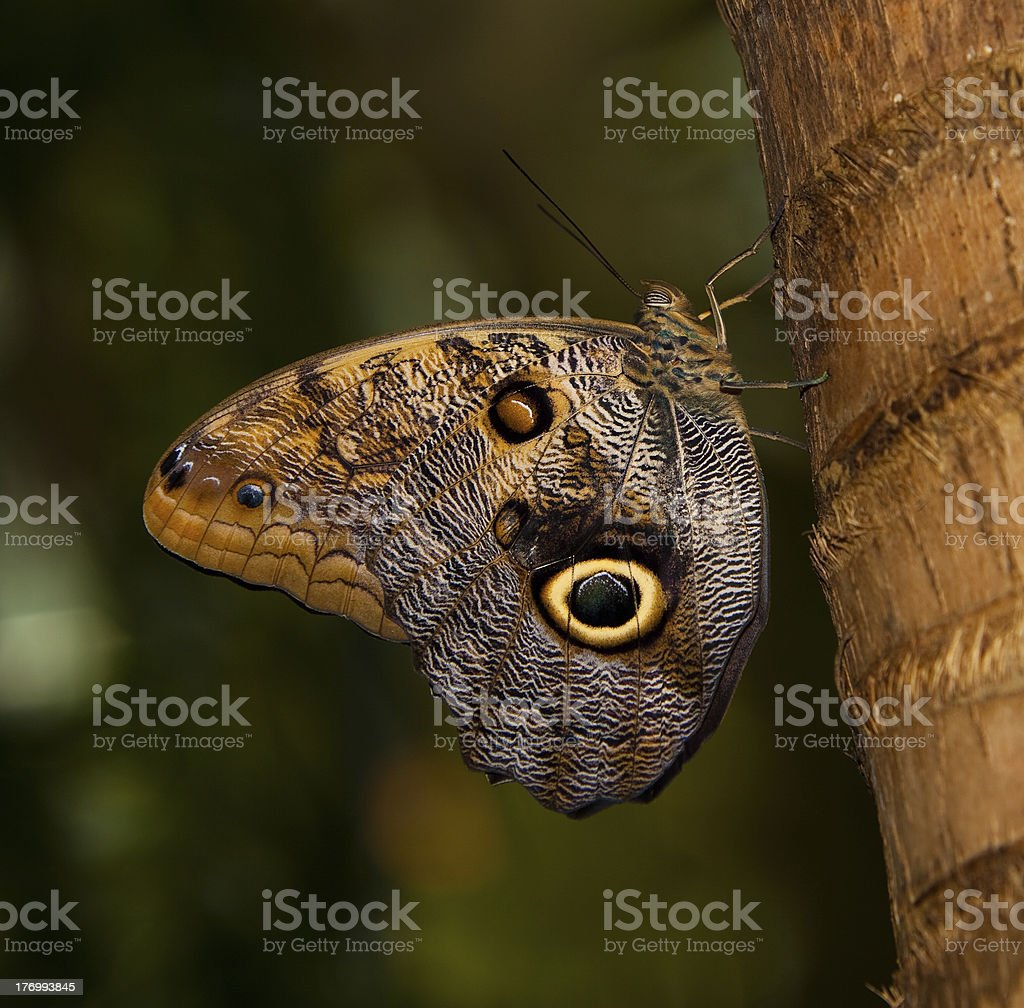 Tawny Owl Butterfly stock photo