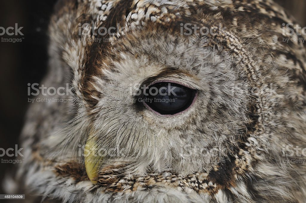 Tawny Owl face with one eye looking left stock photo