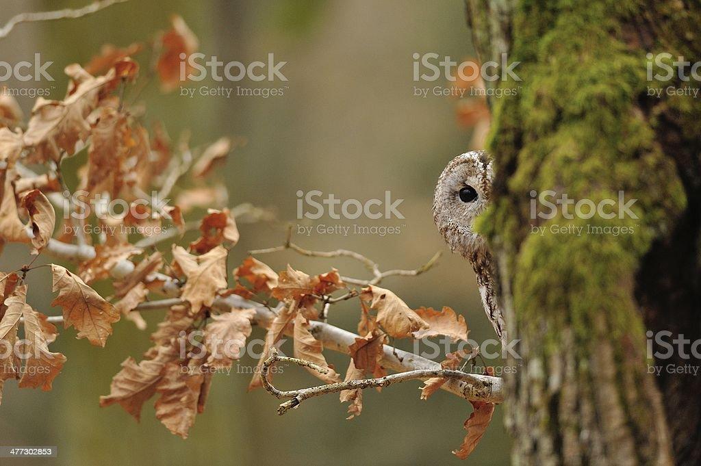 Tawny Owl hiddne behind tree trunk stock photo
