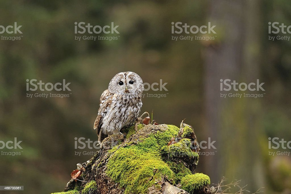 Tawny Owl in the wood stock photo