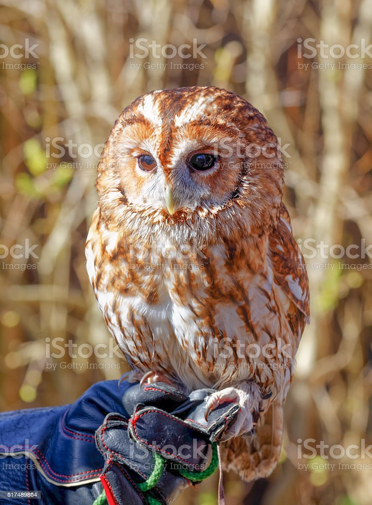 Tawny owl on gloved hand stock photo