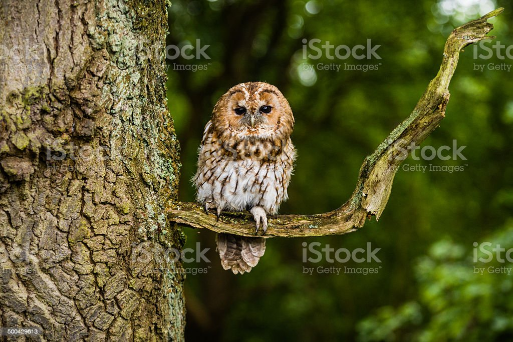 Tawny owl On The Branch Of A Tree stock photo