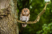 Tawny owl On The Branch Of A Tree