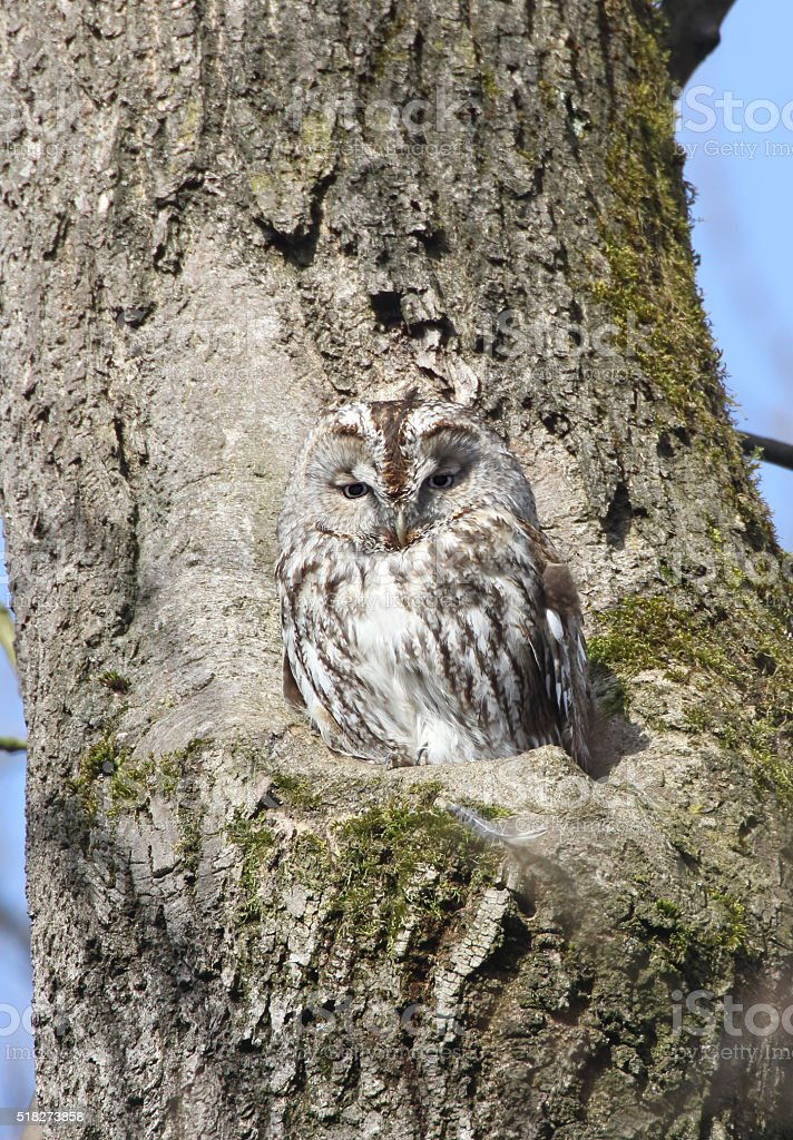Tawny owl or brown owl (Strix aluco) stock photo
