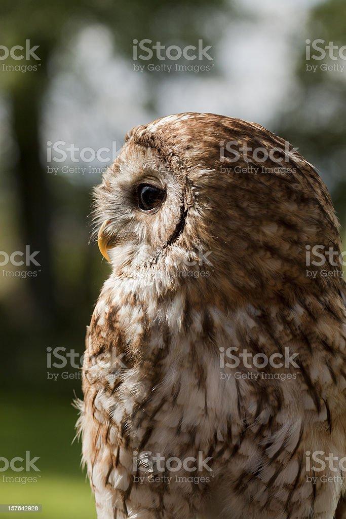 Tawny Owl outdoors. stock photo