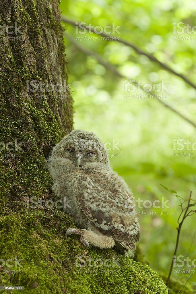 Tawny owl (Strix aluco) owlet hiding on oak royalty-free stock photo