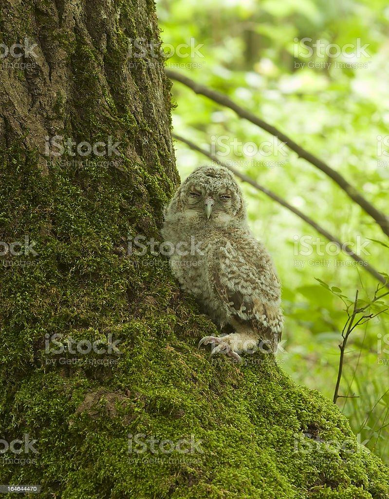 Tawny owl (Strix aluco) royalty-free stock photo