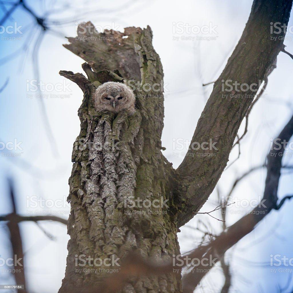 Tawny Owl (Strix aluco) stock photo
