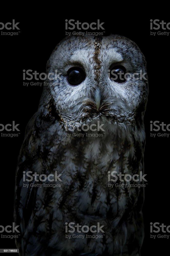 Tawny owl royalty-free stock photo