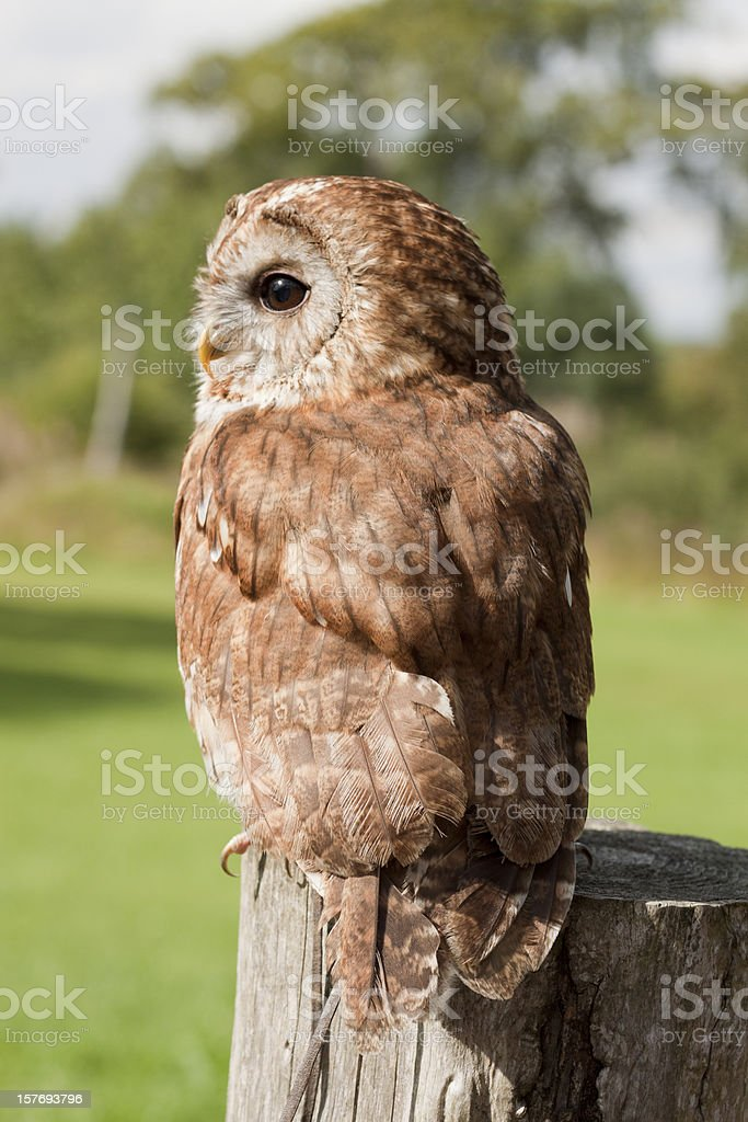 Tawny Owl resting on a fencepost. stock photo