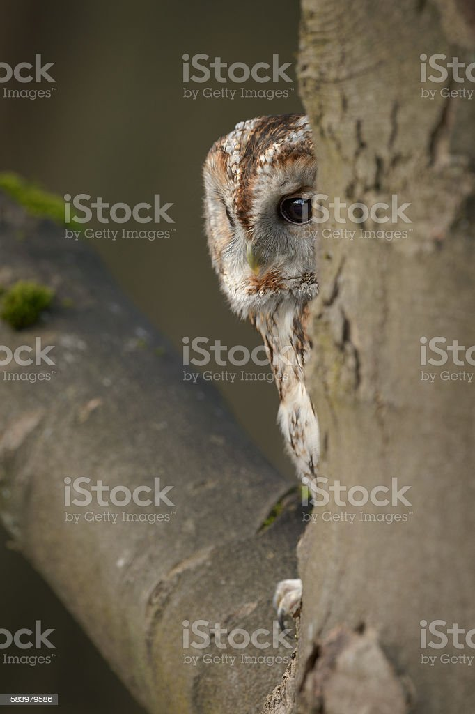 Tawny Owl roosting stock photo