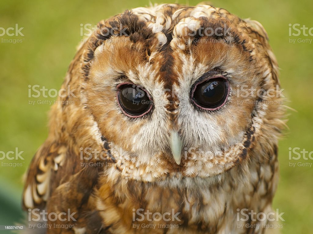Tawny owl Strix aluco head and face close up stock photo