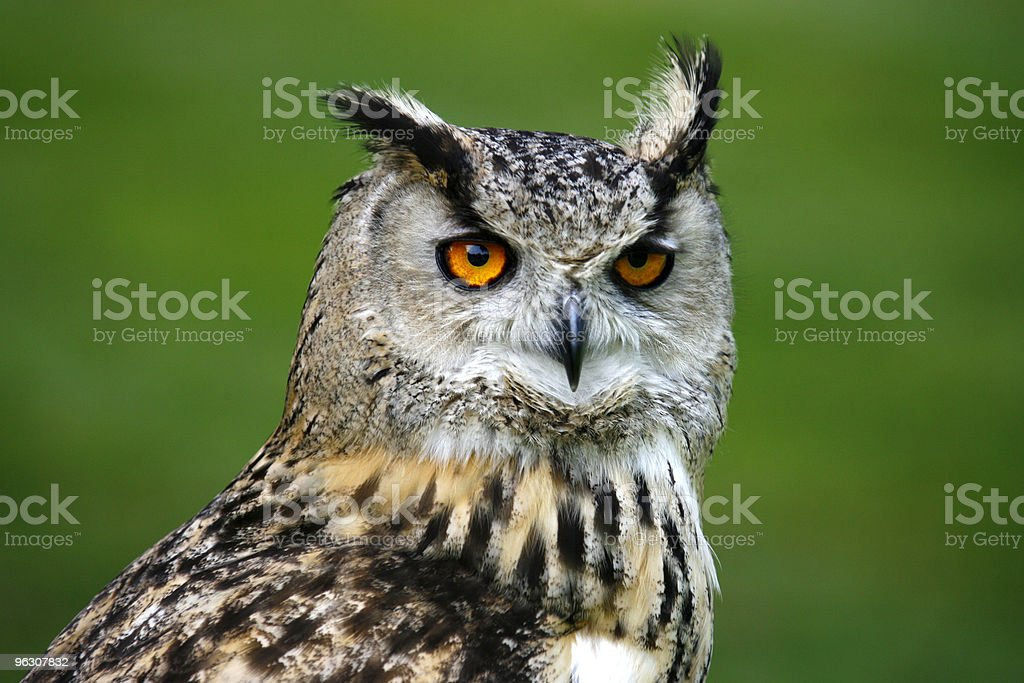 Tawny owl with yellow eyes looking in the distance royalty-free stock photo
