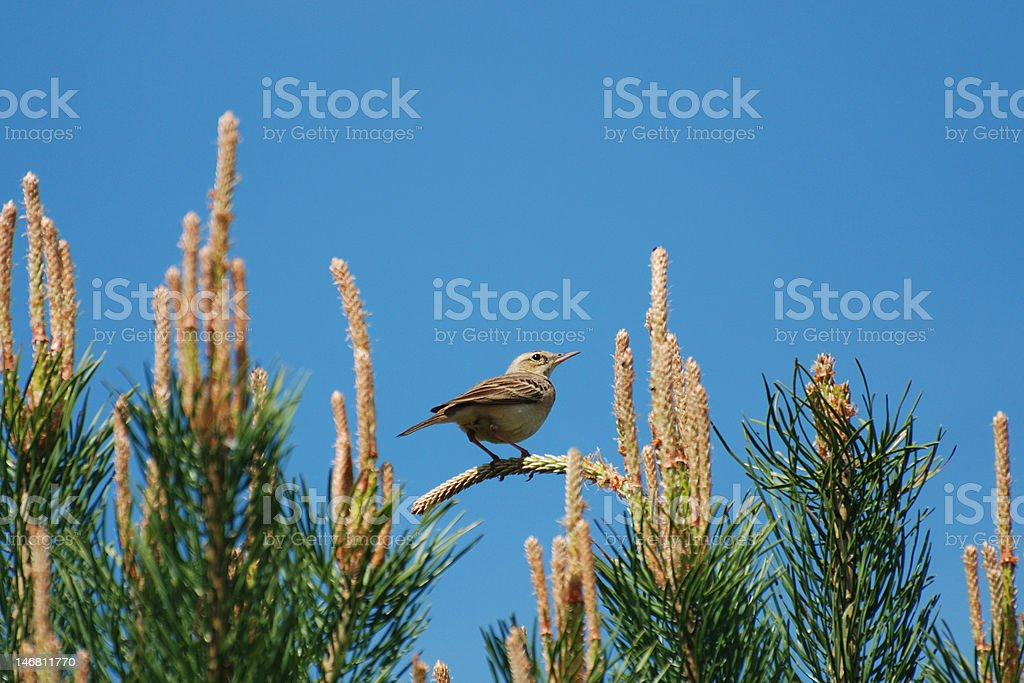 Tawny Pipit (Anthus campestris) stock photo