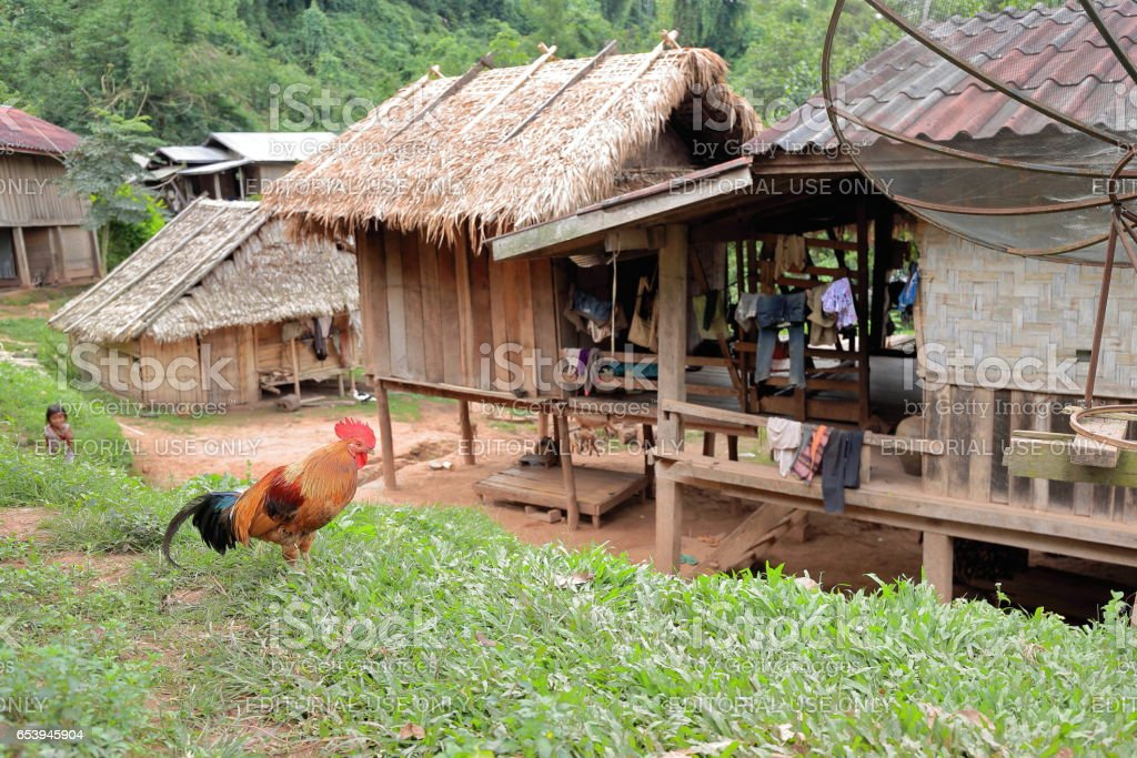 Tawny rooster-Akha tribe. Nam Ha conservation area-Luang Namtha province-Laos. 3321 stock photo