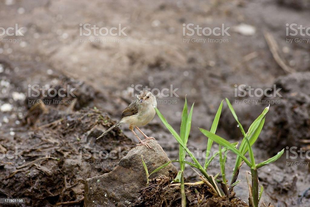 Tawny-flanked Prinia stock photo