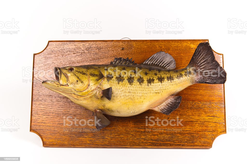 Taxidermied Fish Plaque Isolated on White royalty-free stock photo