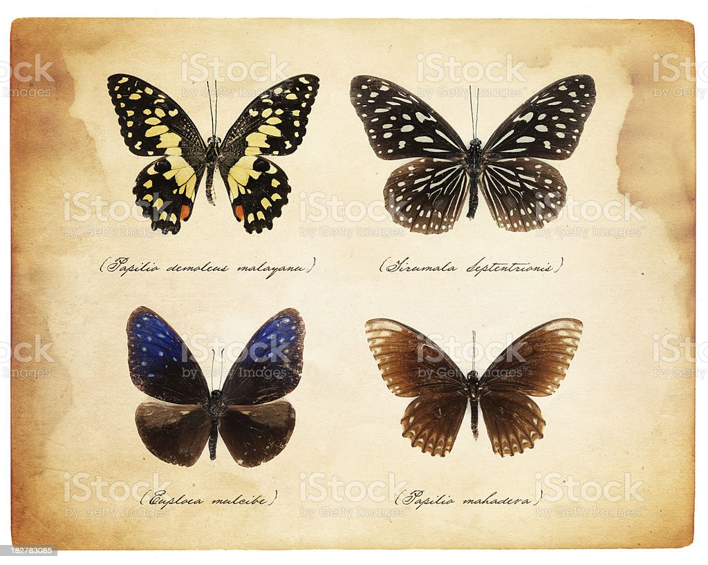 taxidermy butterflies stock photo