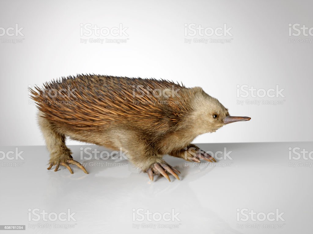 Taxidermy echidna on grey background stock photo