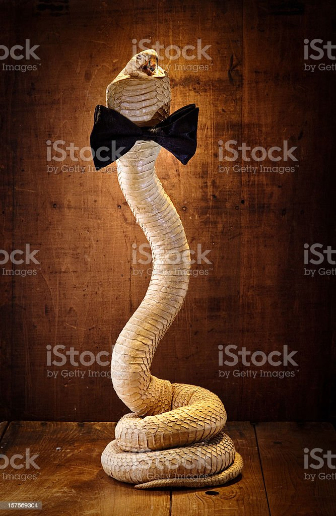 taxidermy king cobra with a black bow tie stock photo