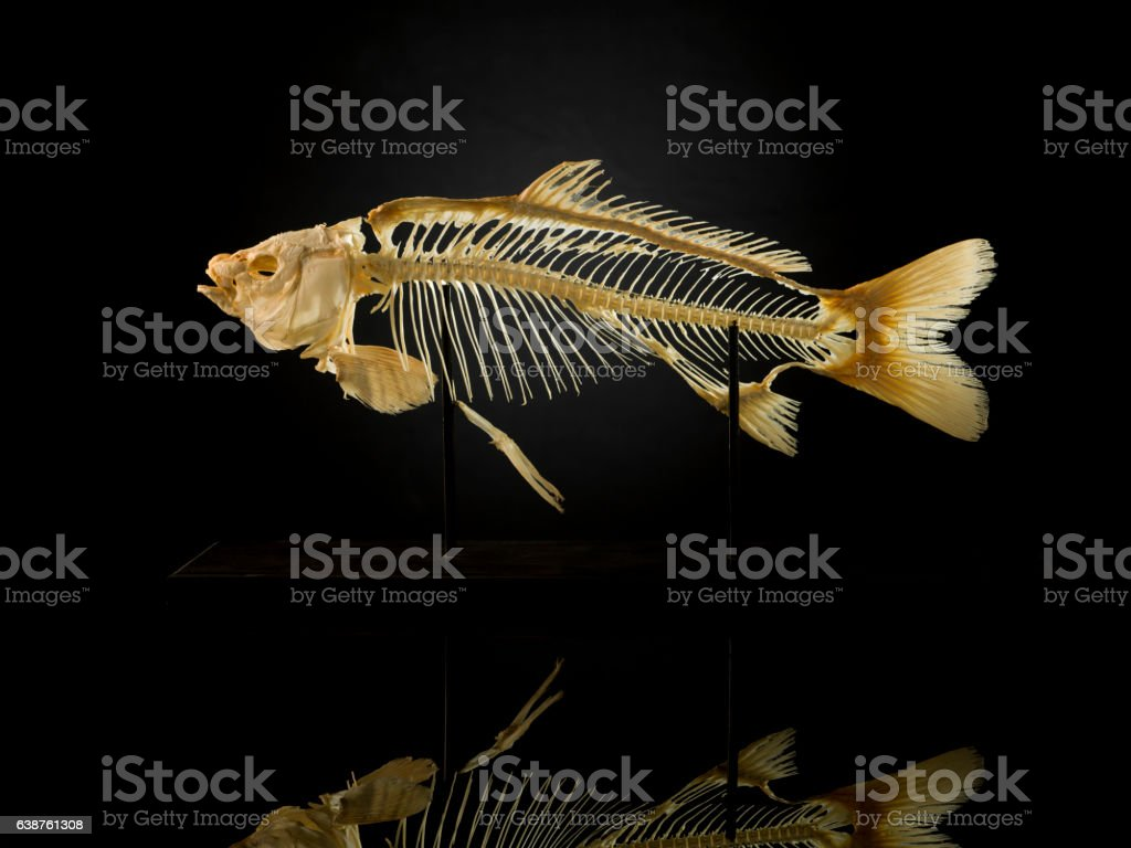 Taxidermy skeleton of fish against black stock photo