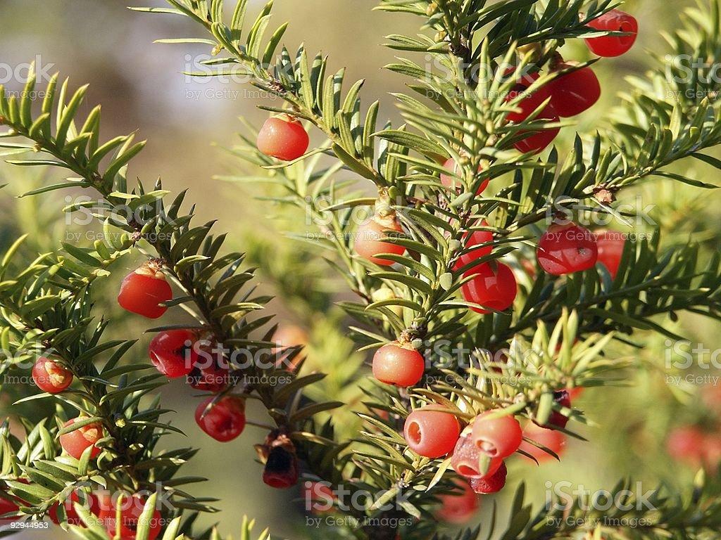 Taxus baccata (Yew Tree) stock photo