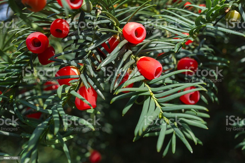 Taxus baccata (Yew) with cones stock photo