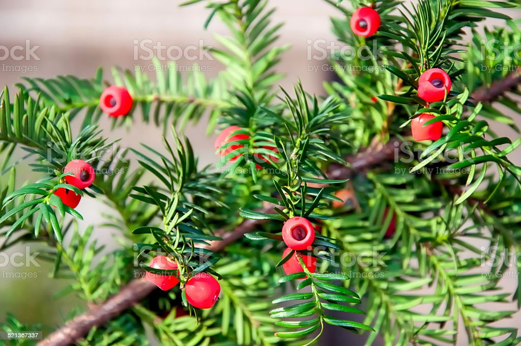 Taxus baccata with ripe cones stock photo