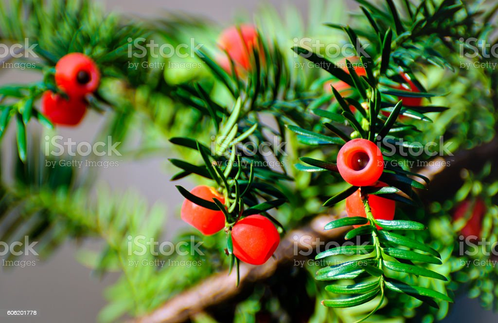 Taxus baccata with ripe red cones from close stock photo