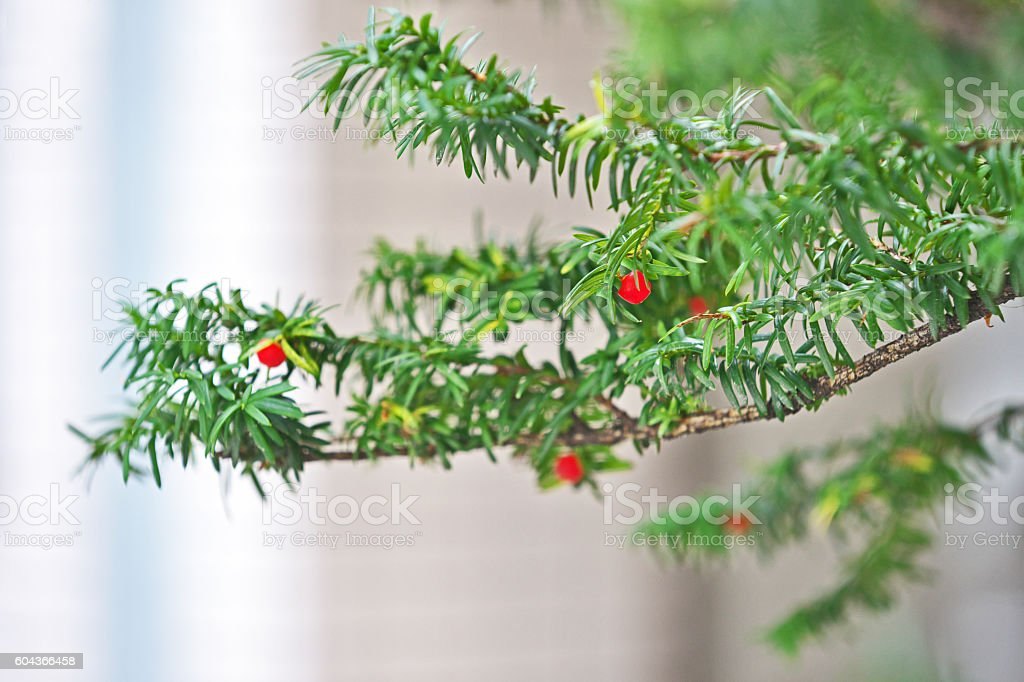 Taxus cuspidata stock photo