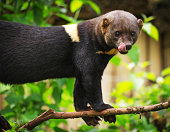 Tayra licking lips