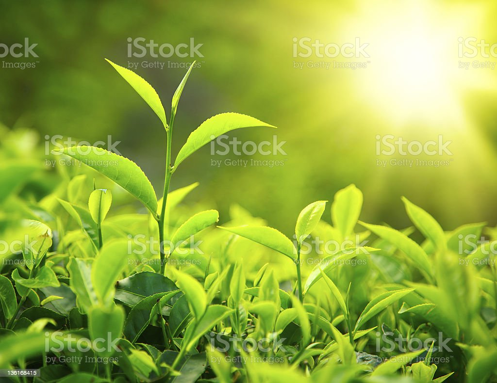 Tea bud and leaves stock photo
