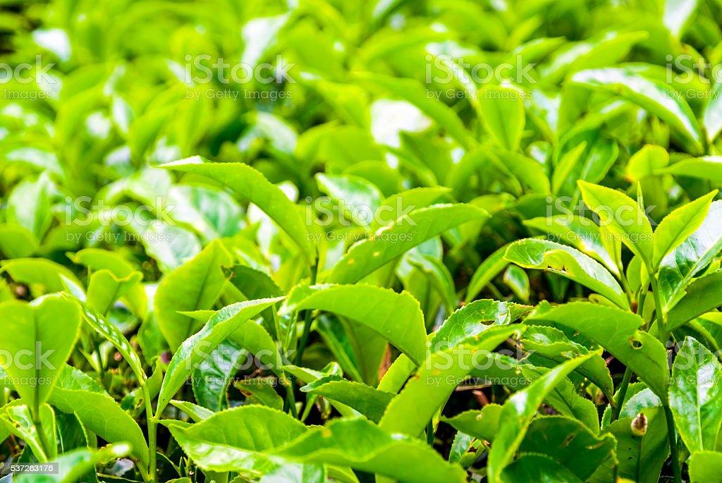 Tea bush leafs close up stock photo