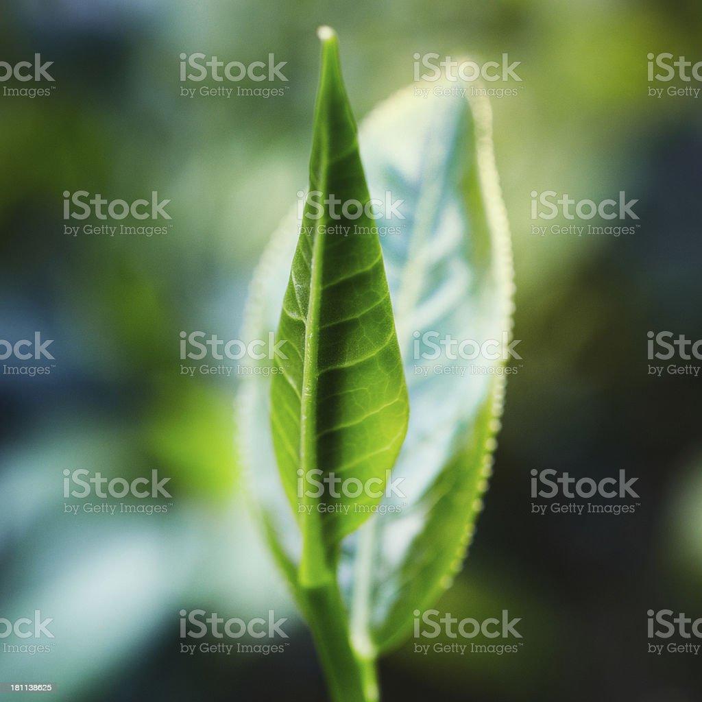 Tea Crop royalty-free stock photo