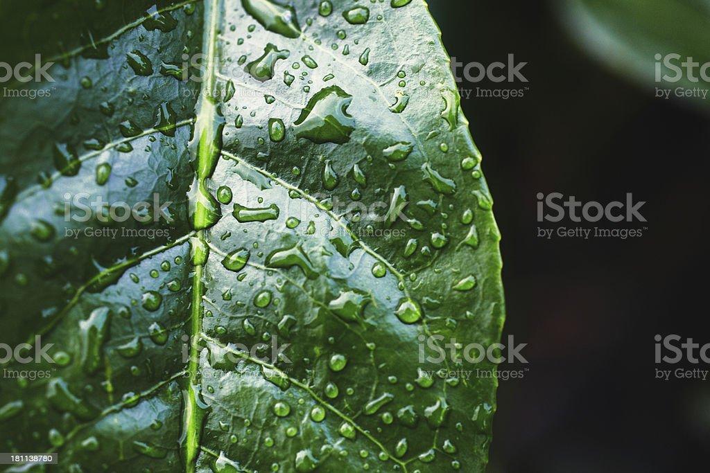 Tea Crop stock photo