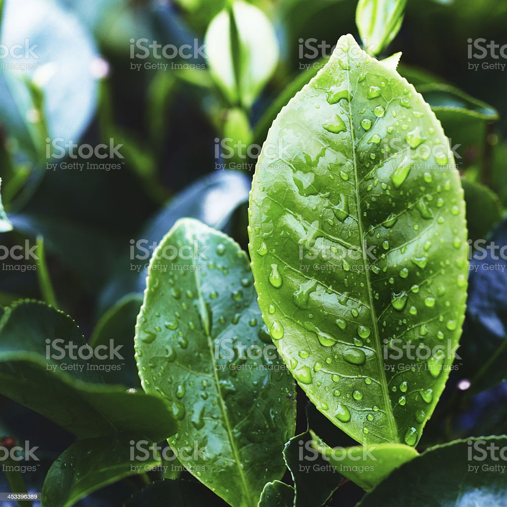 Tea Crop stock photo