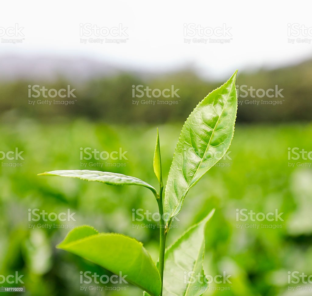 Tea Cultivation royalty-free stock photo