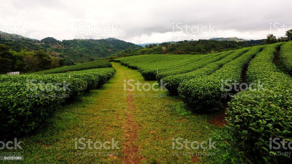 Tea farm at Doi Mae Salong, Chiang Rai stock photo
