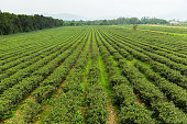 Tea farm in TaiTung, Taiwan