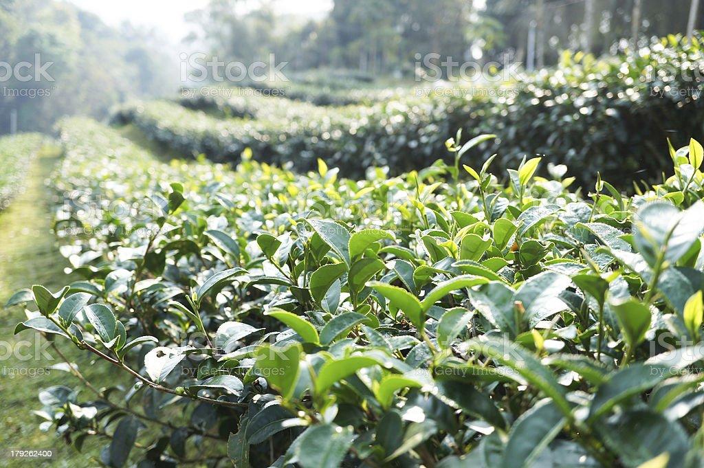 Tea Farm on Changmai Thailand royalty-free stock photo