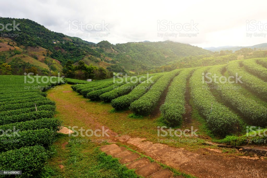 Tea farm with sunlight stock photo